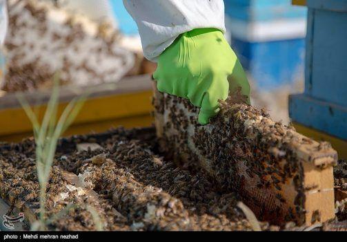 تصاویر/ تولید عسل در جم
